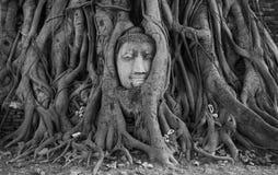 Κεφάλι του Βούδα στη ρίζα Στοκ Εικόνες