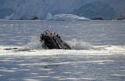 Κεφάλι φαλαινών Humpback Στοκ Εικόνες
