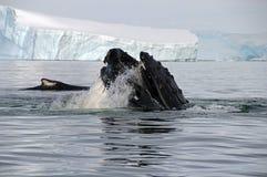 Κεφάλι φαλαινών Humpback Στοκ Εικόνα