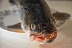 Κεφάλι ψαριών Zander σε μια κινηματογράφηση σε πρώτο πλάνο πιάτων Στοκ Φωτογραφία