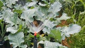 Κεφάλι ψεκαστήρων που ποτίζει το λαχανικό στον κήπο απόθεμα βίντεο