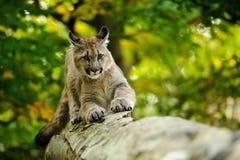 Κεφάλι Cougar Στοκ Εικόνες