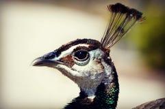 Κεφάλι Peacock στοκ εικόνες με δικαίωμα ελεύθερης χρήσης