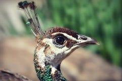 Κεφάλι Peacock Στοκ εικόνα με δικαίωμα ελεύθερης χρήσης