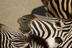 Κεφάλι Zebras Στοκ φωτογραφία με δικαίωμα ελεύθερης χρήσης