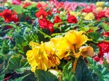 κηπουρική αστική Το πρασίνισμα των πόλεων Κίτρινα και κόκκινα ανθίζοντας begonias στο κρεβάτι λουλουδιών η κάρτα φθινοπώρου εύκολ Στοκ Εικόνες