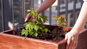 Κηπουρική και δενδροκηποκομία Ανάπτυξη των κοριτσίστικων σταφυλιών σε ένα κιβώτιο σε ένα πεζούλι στην πόλη απόθεμα βίντεο