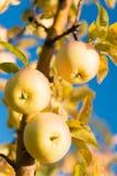 Κηπουρική και συγκομιδή Οργανικός αγρόκτημα ή κήπος συγκομιδών μήλων Εποχή συγκομιδής μήλων φθινοπώρου Πλούσια έννοια συγκομιδών στοκ εικόνες