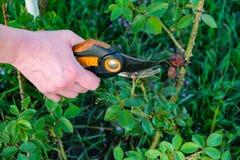 Κηπουρική λουλουδιών και έννοια συντήρησης Κλείστε αυξημένος των χεριών γυναικών με τις ψαλίδες περικοπής που λειτουργούν στον κή στοκ φωτογραφίες