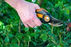 Κηπουρική λουλουδιών και έννοια συντήρησης Κλείστε αυξημένος των χεριών γυναικών με τις ψαλίδες περικοπής που λειτουργούν στον κή στοκ φωτογραφία με δικαίωμα ελεύθερης χρήσης