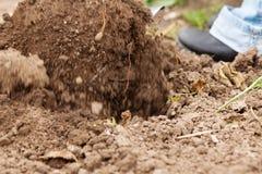 κηπουρική σκαψίματος πέρ&alph Στοκ εικόνες με δικαίωμα ελεύθερης χρήσης