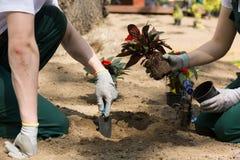 Κηπουροί που φυτεύουν τα λουλούδια που λήφθηκαν μόλις από το δοχείο Στοκ φωτογραφία με δικαίωμα ελεύθερης χρήσης