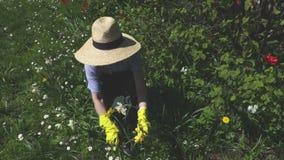 Κηπουρός γυναικών κοντά στα λουλούδια απόθεμα βίντεο