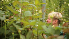 Κηπουρός γυναικών στη φυτεία με τριανταφυλλιές απόθεμα βίντεο