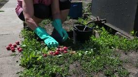 Κηπουρός και ραδίκι απόθεμα βίντεο