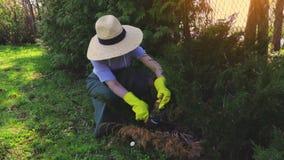 Κηπουρός κοντά στο φράκτη του thuja απόθεμα βίντεο