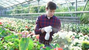 Κηπουρός που εξετάζει τα λουλούδια στο gardenhouse 4K απόθεμα βίντεο