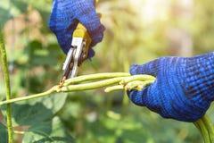 Κηπουρός που κρατά τις φρέσκες μακριές εγκαταστάσεις φασολιών στο φυτικό κήπο στοκ εικόνες