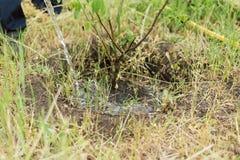 Κηπουρός που ποτίζει ένα μικρό δέντρο ανάπτυξης σε ένα αγρόκτημα Ένα άτομο αυξάνεται ένα δέντρο ξύλων καρυδιάς στοκ εικόνα