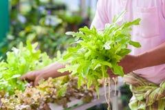 Κηπουρός που συγκομίζει τη φρέσκια πράσινη σαλάτα μαρουλιού οργανική στο vegetab Στοκ Φωτογραφία