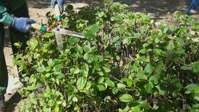 Κηπουρός που τακτοποιεί τους πράσινους κλάδους φρακτών Έννοια εξωραϊσμού φιλμ μικρού μήκους