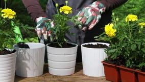 Κηπουρός που φυτεύει κίτρινα marigolds για να ανθίσει τα δοχεία φιλμ μικρού μήκους