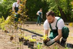 Κηπουρός που φυτεύει τα λουλούδια που λαμβάνονται από το δοχείο Στοκ Εικόνα