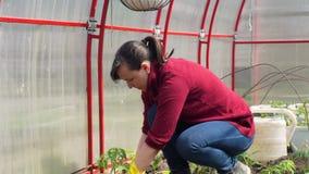 Κηπουρός που φυτεύει τις ντομάτες στο θερμοκήπιο απόθεμα βίντεο
