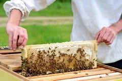 Κηρήθρα Ο μελισσοκόμος παίρνει έξω από την κηρήθρα κυψελών που γεμίζουν με το φρέσκο μέλι Μελισσοκομία στοκ εικόνα