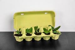 Κιβώτιο αυγών χαρτονιού που χρησιμοποιείται ως εμπορευματοκιβώτιο για την ανάπτυξη των εγκαταστάσεων στοκ φωτογραφία