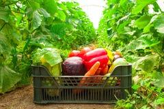 Κιβώτιο με τα λαχανικά σε ένα θερμοκήπιο Στοκ Εικόνα