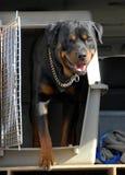 κιβώτιο rottweiler Στοκ φωτογραφίες με δικαίωμα ελεύθερης χρήσης