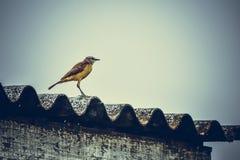 Κιμωλία-browed monkingbird δείτε μπροστά στοκ φωτογραφία με δικαίωμα ελεύθερης χρήσης