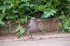 Κιμωλία-browed mockingbird Στοκ φωτογραφίες με δικαίωμα ελεύθερης χρήσης