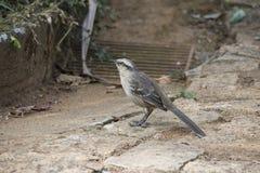 Κιμωλία-browed mockingbird Στοκ Φωτογραφία