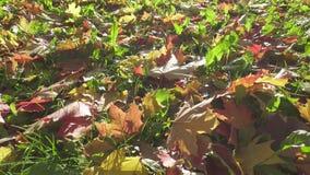 Κινήσεις καμερών κατά μήκος των κίτρινων και κόκκινων φύλλων σφενδάμου που βρίσκονται σε μια πράσινη χλόη στην ηλιόλουστη ημέρα φ απόθεμα βίντεο