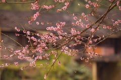 Κινεζικά άνθη δαμάσκηνων Στοκ Εικόνες