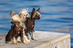 Κινεζικά λοφιοφόρα σκυλιά στοκ εικόνες