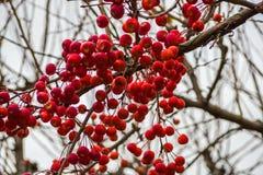 Κινεζικά μήλα στους κλάδους Στοκ Εικόνα