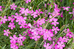 Κινεζικά λουλούδια γαρίφαλων Στοκ Εικόνες