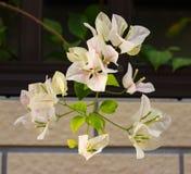 Κινεζικά λουλούδια της Jasmine Στοκ Φωτογραφίες