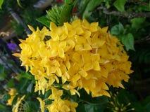 Κινεζικά λουλούδια ixora Στοκ εικόνες με δικαίωμα ελεύθερης χρήσης