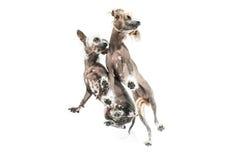 Κινεζικά λοφιοφόρα σκυλιά στο στούντιο Στοκ Φωτογραφία
