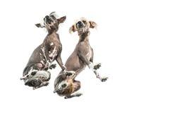 Κινεζικά λοφιοφόρα σκυλιά στο στούντιο Στοκ φωτογραφία με δικαίωμα ελεύθερης χρήσης