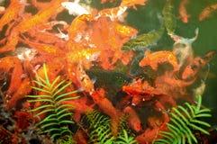 κινεζικά ψάρια Στοκ Εικόνα