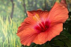 Κινεζικά Hibiscus, Κίνα αυξήθηκαν, της Χαβάης Hibiscus, Hibiscus Rosa-Sinensis Στοκ φωτογραφία με δικαίωμα ελεύθερης χρήσης