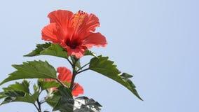 Κινεζικά hibiscus στη αριστερή πλευρά απόθεμα βίντεο