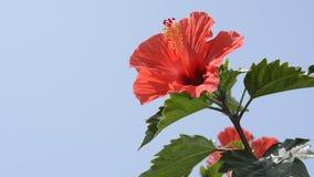 Κινεζικά hibiscus στη δεξιά πλευρά απόθεμα βίντεο