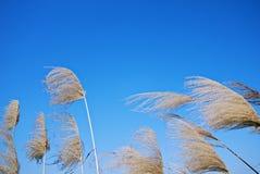 Κινεζικά silvergrass Στοκ Εικόνες
