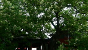 Κινεζικές αρχαίες μαρκίζες οικοδόμησης κάτω από τα πολύβλαστα πράσινα δέντρα, φυσώντας φύλλα αερακιού φιλμ μικρού μήκους